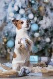 Psi Jack Russell Terrier i Psia nowa Scotia kaczka Tolling Retrie Obrazy Stock