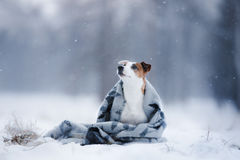 Psi Jack Russell Terrier, psi bieg outdoors fotografia royalty free