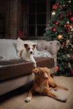 Psi Jack Russell Terrier Scotia i Psi nowa Nurkuje Tolling aporteru wakacje, Obrazy Stock