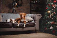 Psi Jack Russell Terrier Scotia i Psi nowa Nurkuje Tolling aporteru wakacje, Obraz Stock