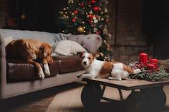 Psi Jack Russell Terrier Scotia i Psi nowa Nurkuje Tolling aporteru wakacje, Fotografia Royalty Free