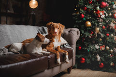 Psi Jack Russell Terrier Scotia i Psi nowa Nurkuje Tolling aporteru wakacje, Zdjęcie Royalty Free