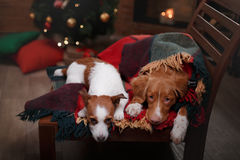 Psi Jack Russell Terrier Scotia i Psi nowa Nurkuje Tolling aporteru wakacje Zdjęcie Stock