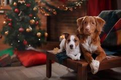 Psi Jack Russell Terrier Scotia i Psi nowa Nurkuje Tolling aporteru wakacje Zdjęcia Stock