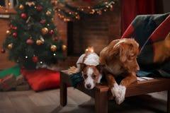 Psi Jack Russell Terrier Scotia i Psi nowa Nurkuje Tolling aporteru wakacje Fotografia Stock