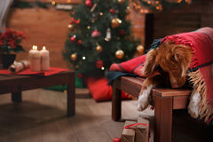 Psi Jack Russell Terrier Scotia i Psi nowa Nurkuje Tolling aporteru wakacje Obrazy Stock