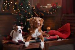 Psi Jack Russell Terrier Scotia i Psi nowa Nurkuje Tolling aporteru wakacje Fotografia Royalty Free
