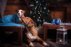 Psi Jack Russell Terrier Scotia i Psi nowa Nurkuje Tolling aporteru wakacje Zdjęcia Royalty Free