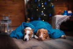 Psi Jack Russell Terrier Scotia i Psi nowa Nurkuje Tolling aporteru wakacje Obraz Stock