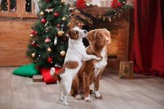 Psi Jack Russell Terrier Scotia i Psi nowa Nurkuje Tolling aporteru wakacje, boże narodzenia Zdjęcie Stock