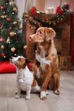 Psi Jack Russell Terrier Scotia i Psi nowa Nurkuje Tolling aporteru wakacje, boże narodzenia Fotografia Stock