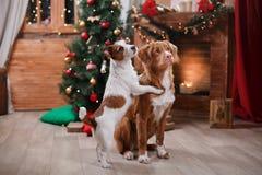 Psi Jack Russell Terrier Scotia i Psi nowa Nurkuje Tolling aporteru wakacje, boże narodzenia Zdjęcia Stock