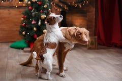 Psi Jack Russell Terrier Scotia i Psi nowa Nurkuje Tolling aporteru wakacje, boże narodzenia Fotografia Royalty Free