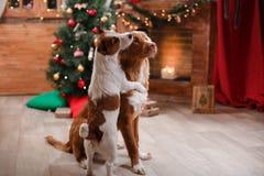 Psi Jack Russell Terrier Scotia i Psi nowa Nurkuje Tolling aporteru wakacje, boże narodzenia Zdjęcia Royalty Free