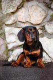 Psi jamnika portret Obrazy Stock