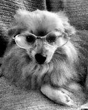 Psi jest ubranym widowiska Obraz Royalty Free
