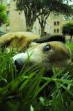 Psi kłaść na trawie Obraz Stock