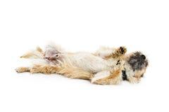 Psi kołysanie się Na plecy Obrazy Stock