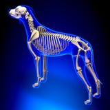 Psi kościec perspektywiczny widok - Canis Lupus Familiaris anatomia - Obraz Stock