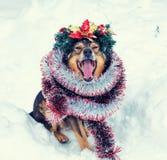 Psi koronowany Bożenarodzeniowy wianek obrazy royalty free