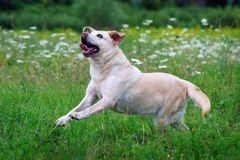 Psi labrador biegał przez pole Obraz Royalty Free