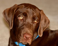 psi labrador czekolady Obrazy Stock