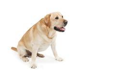 psi labradora aporteru kolor żółty Zdjęcia Stock