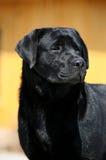 psi labradora zwierzęcia domowego aporter zdjęcia stock