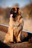 Psi Leonberger portret Obraz Stock