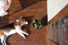 Psi lying on the beach na drewnianym tarasie Rattan krzesło i kwiatu garnek Zdjęcie Royalty Free
