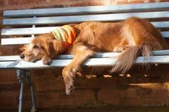 Psi lying on the beach w błękitnej ławce Fotografia Stock