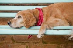 Psi lying on the beach w błękitnej ławce Obrazy Stock