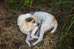 Psi lying on the beach w gazonie na gospodarstwie rolnym obraz royalty free