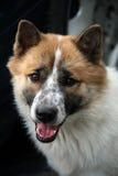 Psi mądrze Obrazy Royalty Free
