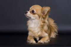 psi mały Zdjęcie Stock