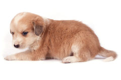 psi mały Fotografia Royalty Free