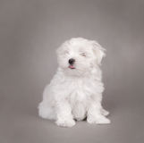 psi maltese szczeniak obrazy royalty free