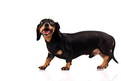 psi śmieszny Fotografia Stock