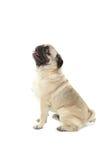 psi śmieszny mops Obraz Royalty Free