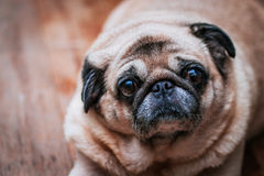 Psi mops Patrzeje W kamerę Obrazy Royalty Free