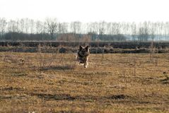 Psi mutt biega w kierunku pola, Fotografia Royalty Free