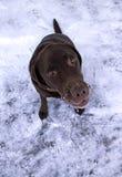 psi śnieg Zdjęcia Stock