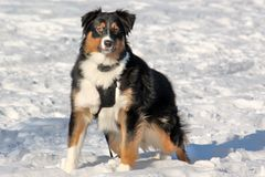 psi śnieg Fotografia Stock