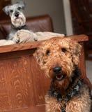 psi niegrzeczny Zdjęcie Royalty Free