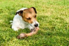 Psi oblizania doggy kości lying on the beach na zielonej trawie Zdjęcie Stock