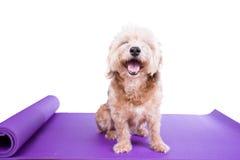 Psi obsiadanie na joga macie Fotografia Stock