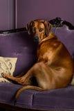 Psi obsiadanie na kanapie ogląda swój mistrza Zdjęcie Stock