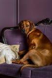 Psi obsiadanie na kanapie ogląda swój mistrza Zdjęcia Stock