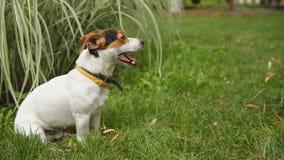Psi obsiadanie na trawie z jego jęzorem wiszącym out zbiory wideo