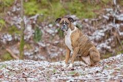 Psi obsiadanie w Śnieżnych drewnach Patrzeje w odległość Obrazy Royalty Free